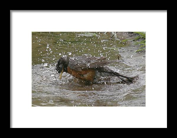 Robin Bird Framed Print featuring the photograph Bath Time by Robert Pearson
