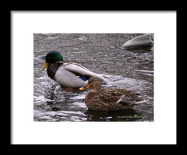 Mallards Framed Print featuring the photograph Bathing Buddies by KatagramStudios Photography