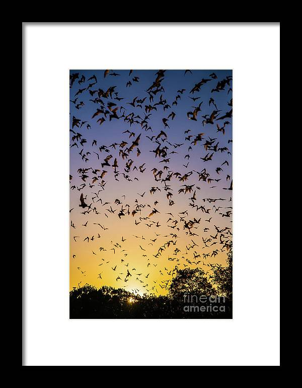 Bats Framed Print featuring the photograph Bats At Bracken Cave by Michael Tidwell