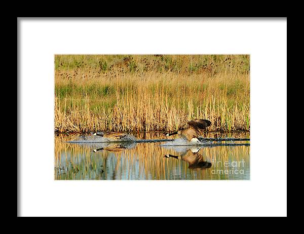 Bird Framed Print featuring the photograph Battle For Territory by Dennis Hammer