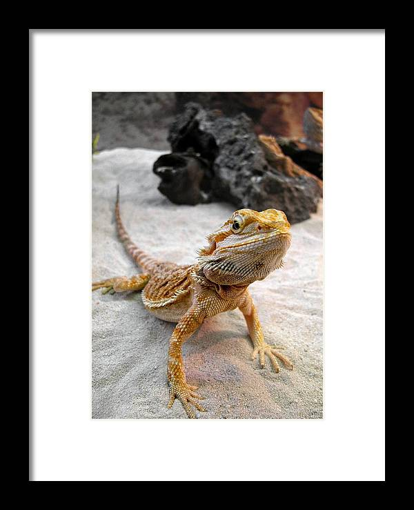 Animal Framed Print featuring the photograph Bearded Dragon by Michele Stoehr