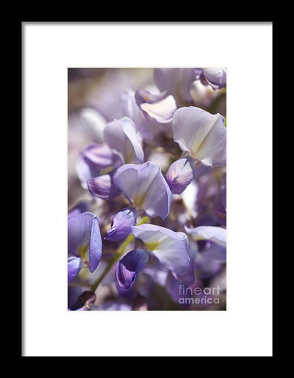 Wisteria Framed Print featuring the photograph Beautiful And Magical Wisteria by Joy Watson