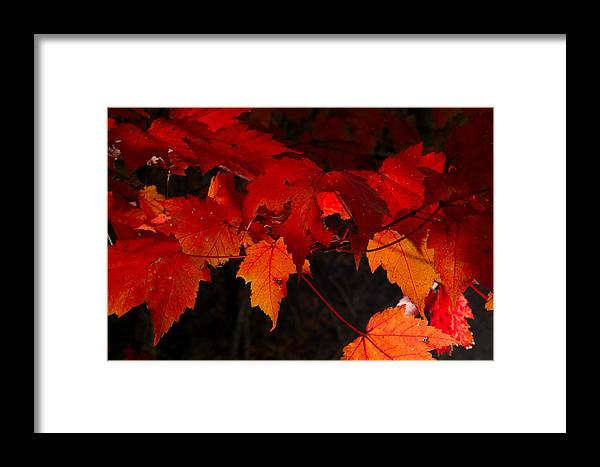 Red Framed Print featuring the photograph Beautiful Backlit Autumn Maple Leaves by Darrell Young