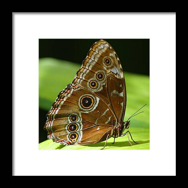 Butterflies Framed Print featuring the photograph Beautiful Butterfly Wings Of Meadow Brown by Taiche Acrylic Art
