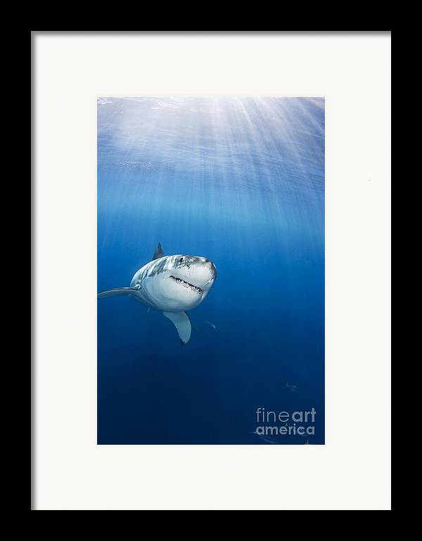 Animal Art Framed Print featuring the photograph Beautiful Great White by Dave Fleetham - Printscapes
