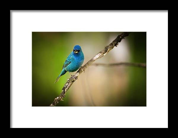 Animals Framed Print featuring the photograph Beautiful Indigo Bird by Chad Davis
