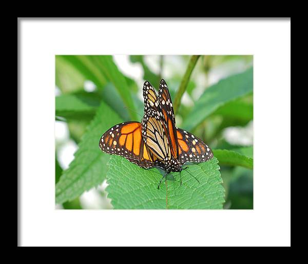 Nature Framed Print featuring the photograph Beautiful Monarchs by Classic Color Creations