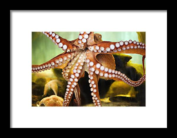 Octopus Framed Print featuring the photograph Beautiful Octopus by Marilyn Hunt