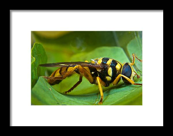 Beautiful Framed Print featuring the photograph Beautiful Syrphid by Douglas Barnett