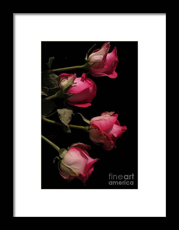 Floral Framed Print featuring the photograph Beautiful Two Tone Roses 4 by Tara Shalton