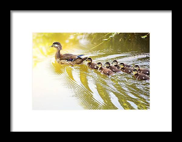 Wood Ducks Framed Print featuring the photograph Beautiful Wood Ducks by Jodi Sharp
