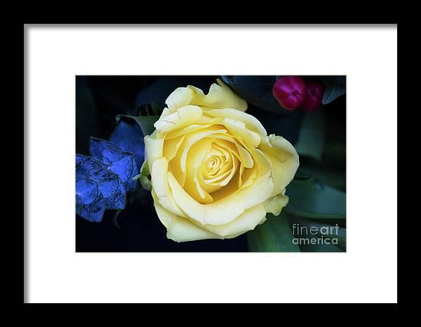 Rose Framed Print featuring the photograph Beautiful Yellow Rose by Maxwell Dziku
