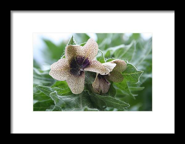 Flowers Framed Print featuring the photograph Beauty In A Weed by Susan Pedrini