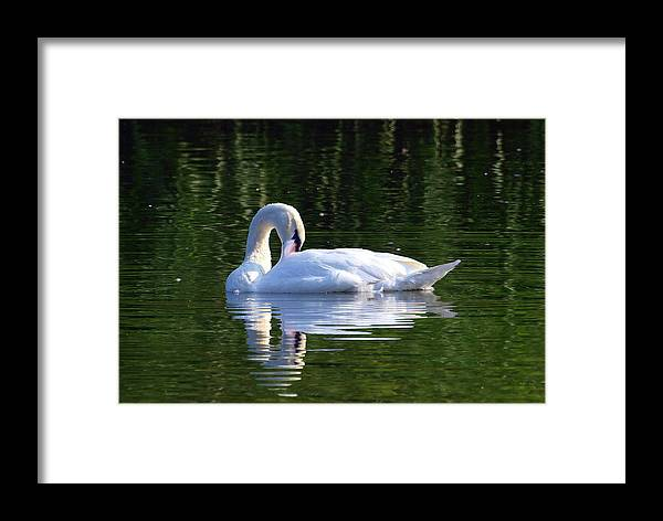 Mute Swan; Cygnus Olor; Swan; Aquatic Bird; Aquatic; Water Fowl; Lake; White Rock Lake; Dallas Texas; Sunset Bay; Green Water; Reflection Framed Print featuring the photograph Beauty by Kala King