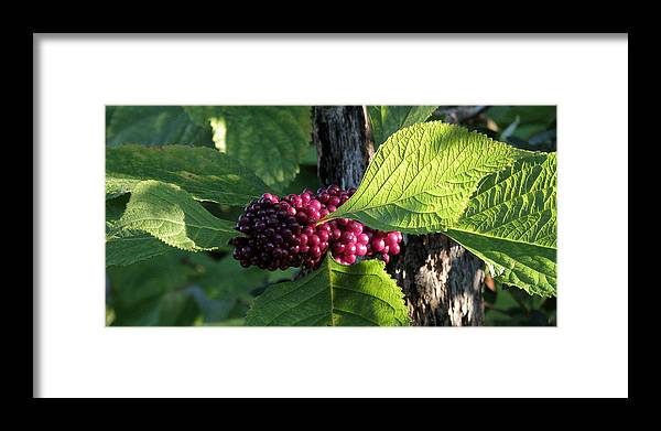 Nature Framed Print featuring the photograph Beautyberry 2 by Peg Urban