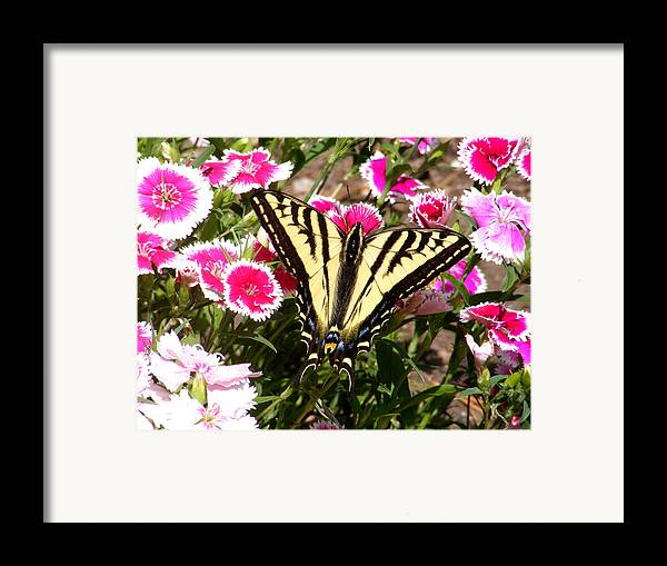 Butterfly Framed Print featuring the photograph Beautyfly In Pink by Gail Salitui