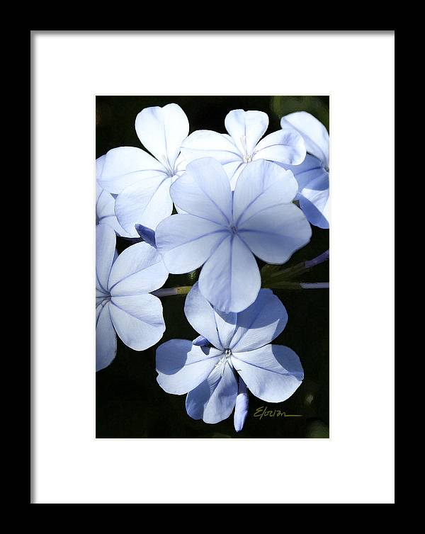 Fine Artist Framed Print featuring the painting Becky's Plumbago by Elorian Landers