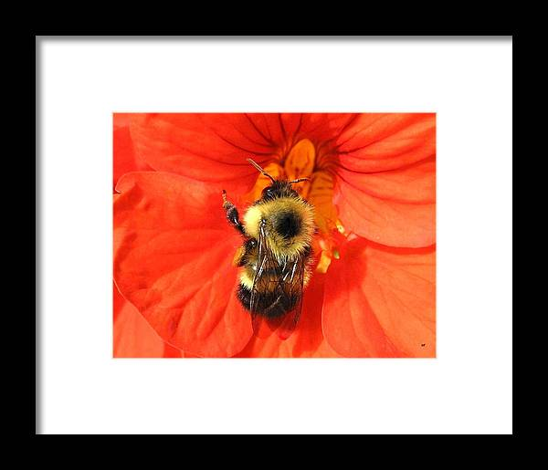 Bee Framed Print featuring the photograph Bee And Nasturtium by Will Borden