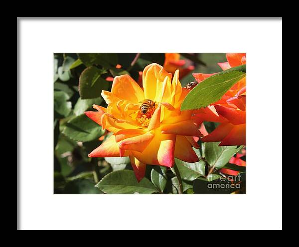 Bee Framed Print featuring the photograph Bee At Work by Ralph LeCompte