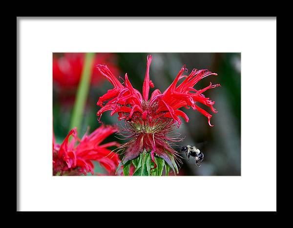 Bee Balm Framed Print featuring the photograph Bee Balm by Alan Lenk