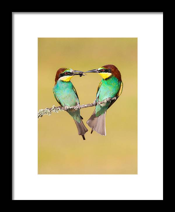 Bee-eater Framed Print featuring the photograph Bee-eater Valentine Heart by Alan Grant