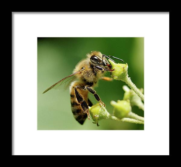 Bee Framed Print featuring the photograph Bee Gathering Nectar by Clarence Alford