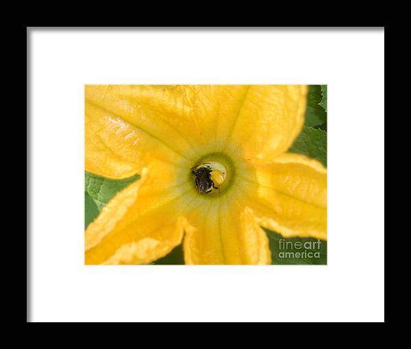 Bee Framed Print featuring the photograph Bee In Squash Blossom by Ian Michaud
