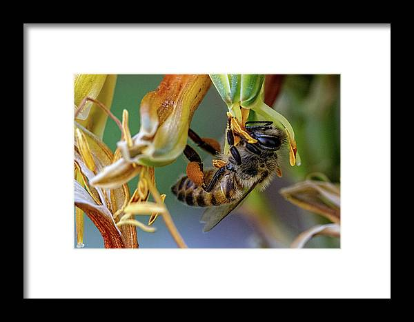 Bee Framed Print featuring the photograph Bee Life by Agustin Uzarraga