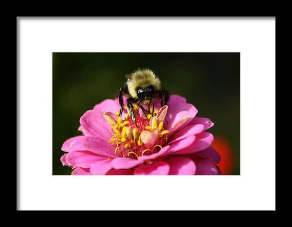 Bee Framed Print featuring the photograph Bee Nice by Annie Babineau