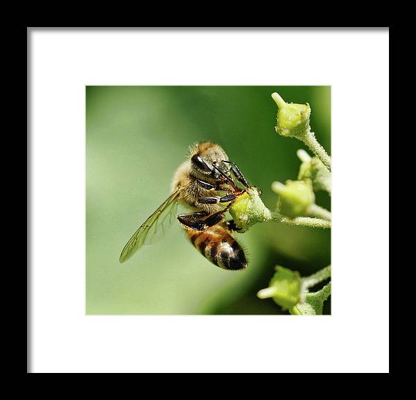 Bee Framed Print featuring the photograph Bee On A Flower Closeup by Clarence Alford