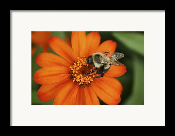 Bee Framed Print featuring the photograph Bee On Aster by Margie Wildblood