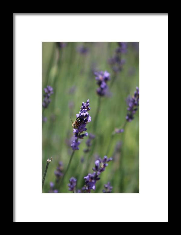 Deep Purple Lavender Framed Print featuring the photograph Bee on Deep Purple Lavender Spike by Colleen Cornelius