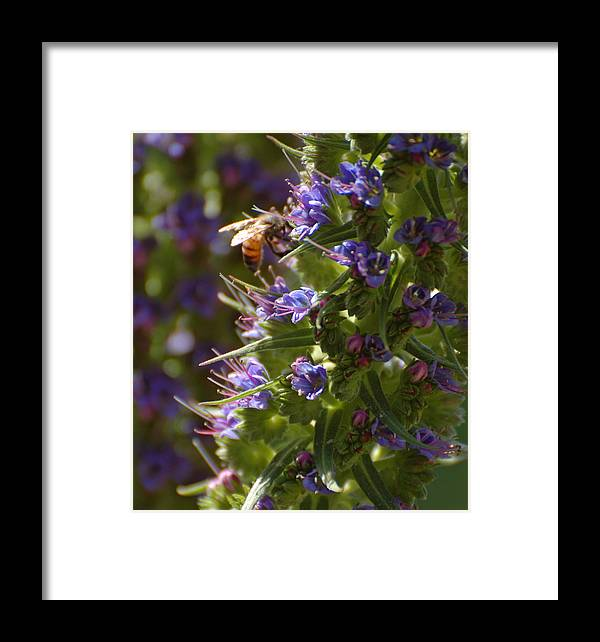 Bee Framed Print featuring the photograph Bee On Echium by Jean Booth