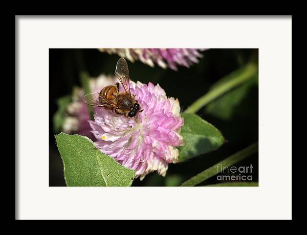 Bee Framed Print featuring the photograph Bee On Gomphrena by Jeannie Burleson