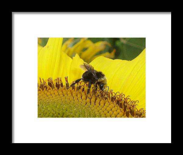 Bee's Framed Print featuring the photograph Bee On Sunflower 2 by Chandelle Hazen