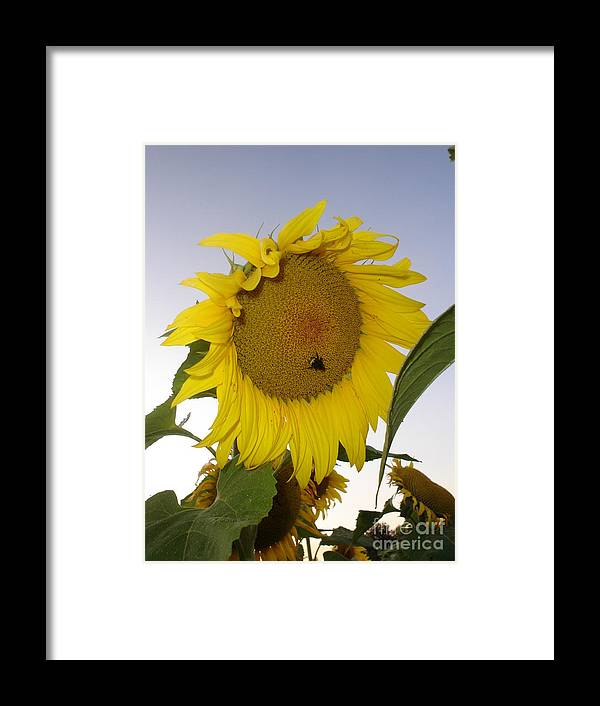 Bee On Sunflower Framed Print featuring the photograph Bee On Sunflower 5 by Chandelle Hazen