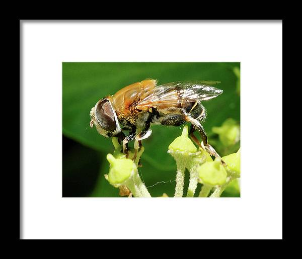 Bee Framed Print featuring the photograph Bee On Two Flowers by Clarence Alford