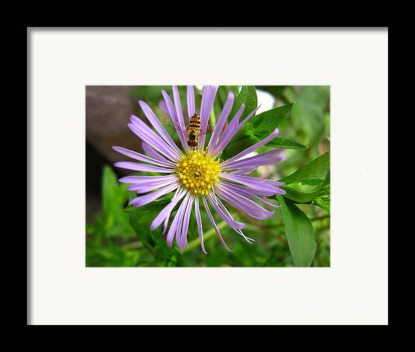 Bee Framed Print featuring the photograph Bee On Wildflower by Melissa Parks