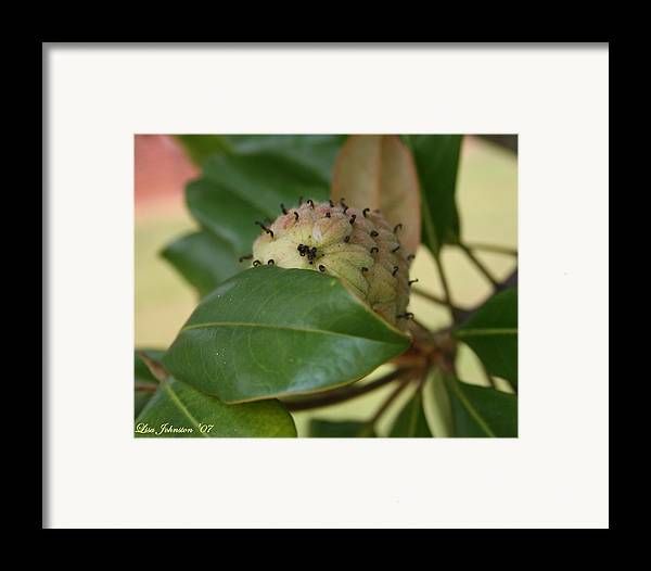 Magnolia Framed Print featuring the photograph Before The Bloom by Lisa Johnston
