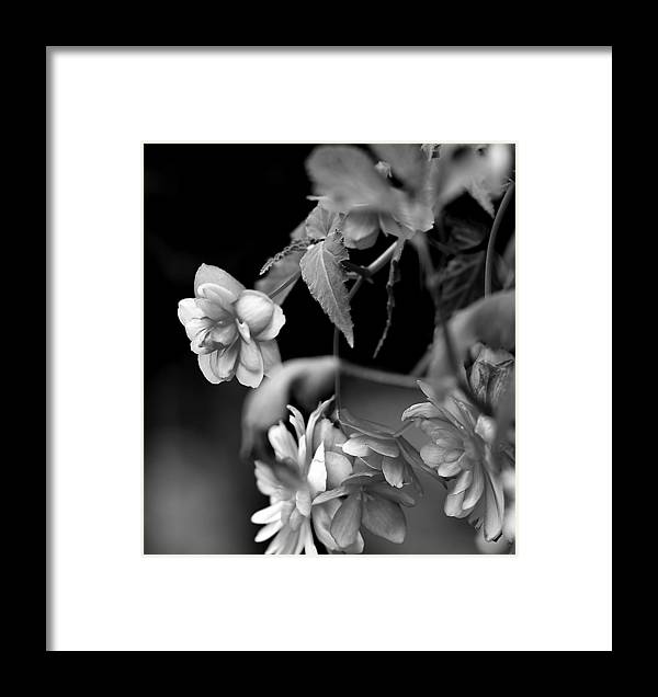 Flowers Framed Print featuring the photograph Begonias by Pat Carosone