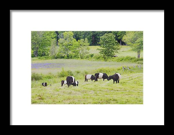 Cow Framed Print featuring the photograph Belted Galloway Cows Rockport Maine Poster Prints by Keith Webber Jr