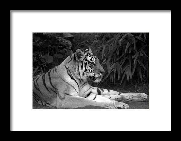 Zoo Framed Print featuring the photograph Bengal Tiger by Sonja Anderson