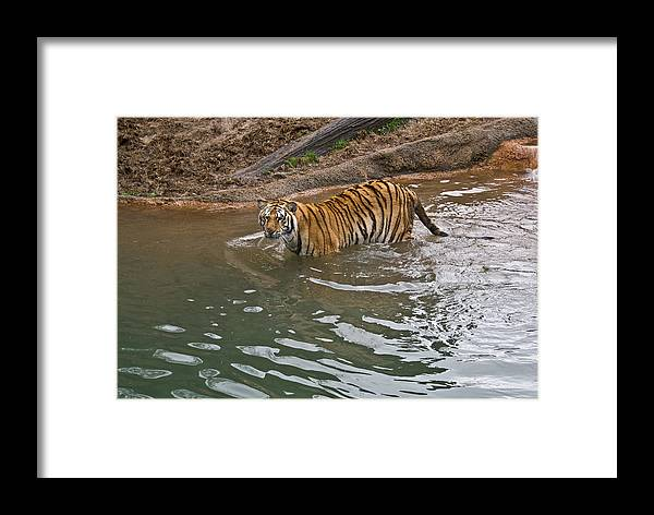 Bengal Framed Print featuring the photograph Bengal Tiger Wading Stream by Douglas Barnett