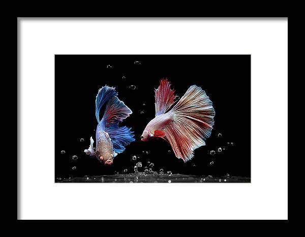 Animal Framed Print featuring the photograph Betta1265 by Bang Yos