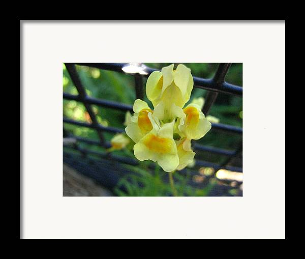 Flower Framed Print featuring the photograph Between The Fences by Melissa Parks