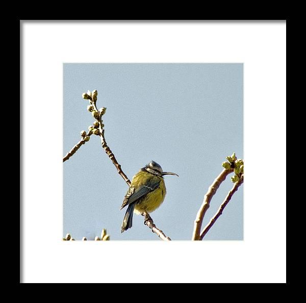 Tit Framed Print featuring the photograph Big Beak by Alan Pickersgill