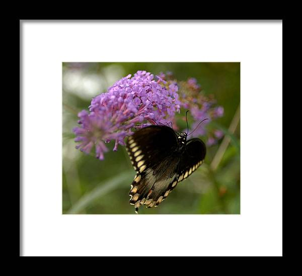 Insects Framed Print featuring the pyrography Big Black Bfly by Donna Stiffler