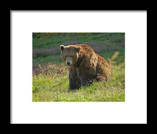 Bear Framed Print featuring the photograph Big Brown Bear by Andrew Kazmierski