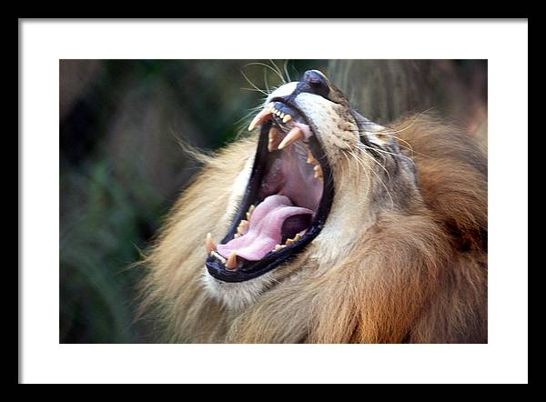 Lions Framed Print featuring the photograph Big Mouth by Edward Roman