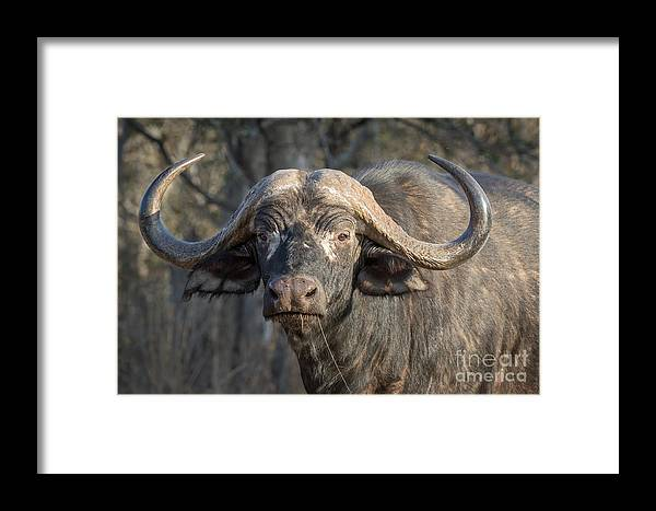 Action Framed Print featuring the photograph Big Old Bull by Stephan Olivier